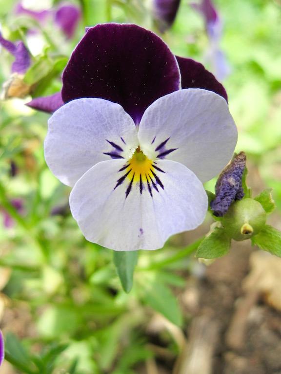 Viola tricolor in Goethe's garden