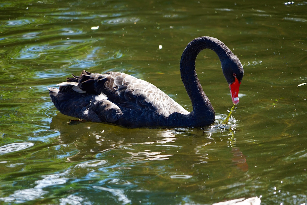 Black Swan in  St James's Park Lake