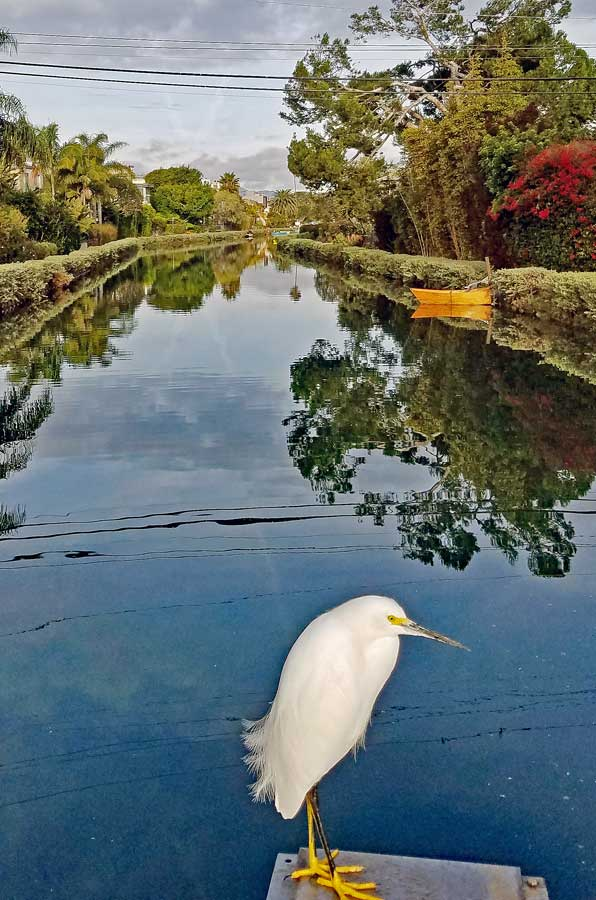 Snowy white Egret waiting for prey at Grand Canal Venice of America