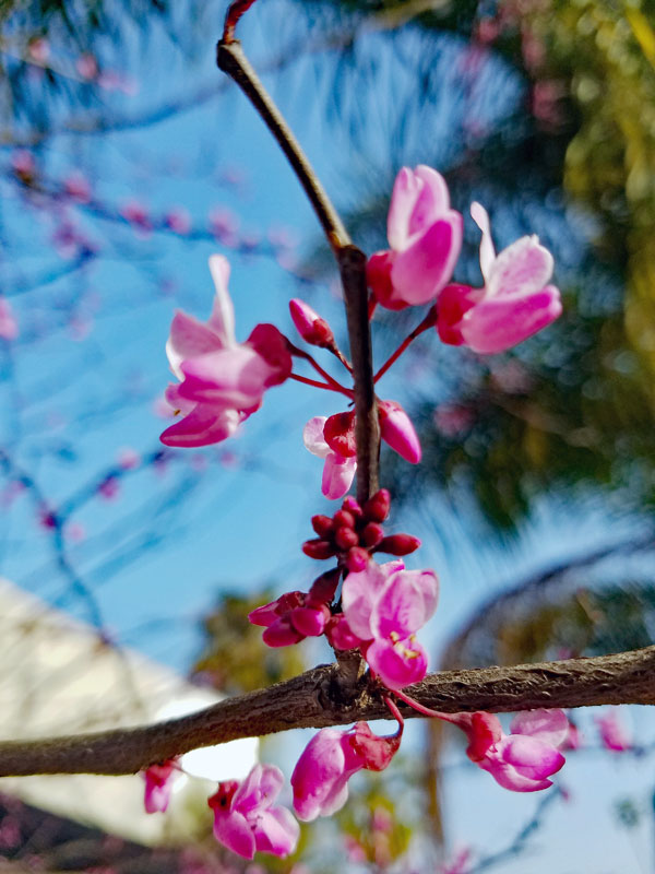 Another spring tree blossom on march 20:th 2017
