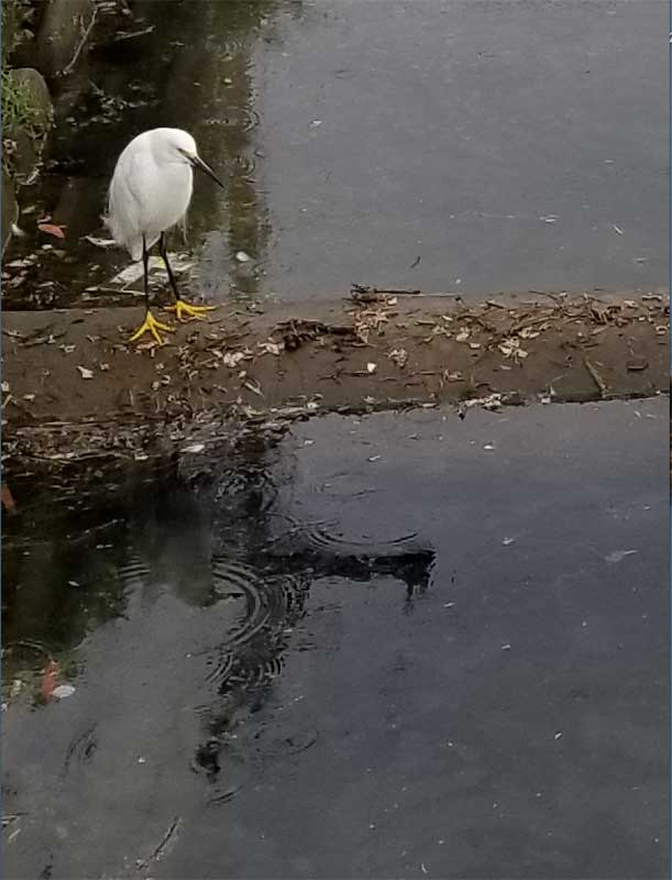Sitting on the dock of the Bay - Snowy Egret in Grand Canal enjoying the rain