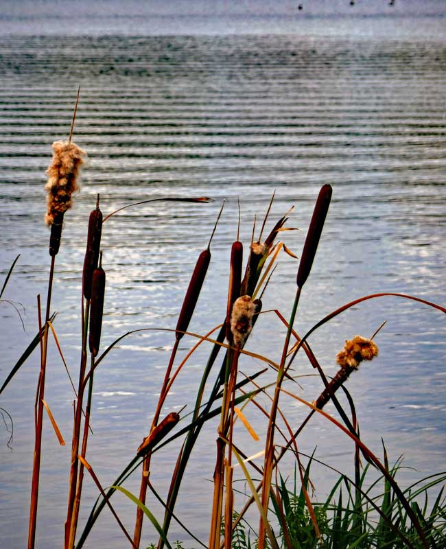 Typha Angustifolia, a.k.a. Narrowleaf cattail growing at the edge of the Serpentine.