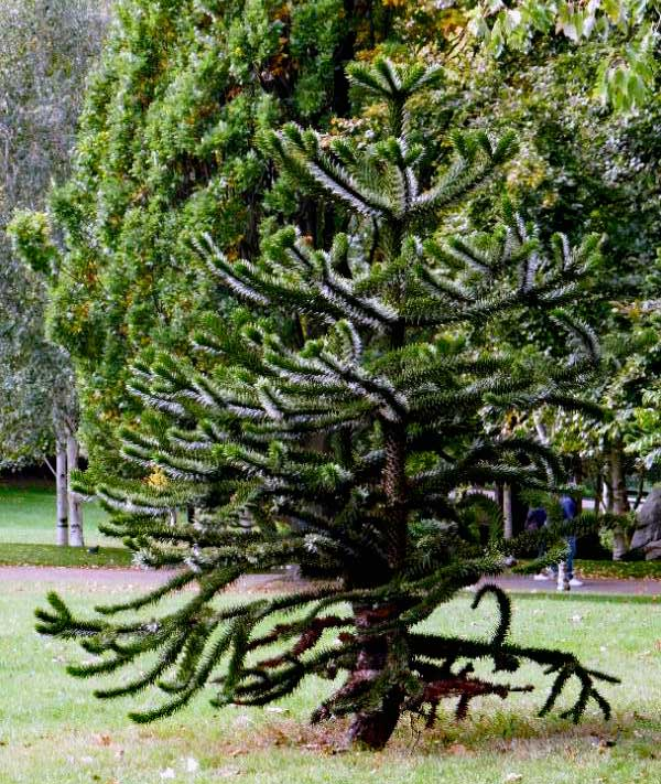 Another fascinating tree in the park, Araucaria-araucana, or the Monkey puzzle tree.
