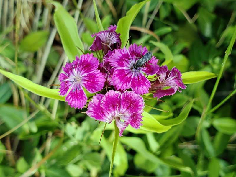 I believe this is a plant named Dianthus carthusianorum L. or in English - Carthusian Pink, Clusterhead.