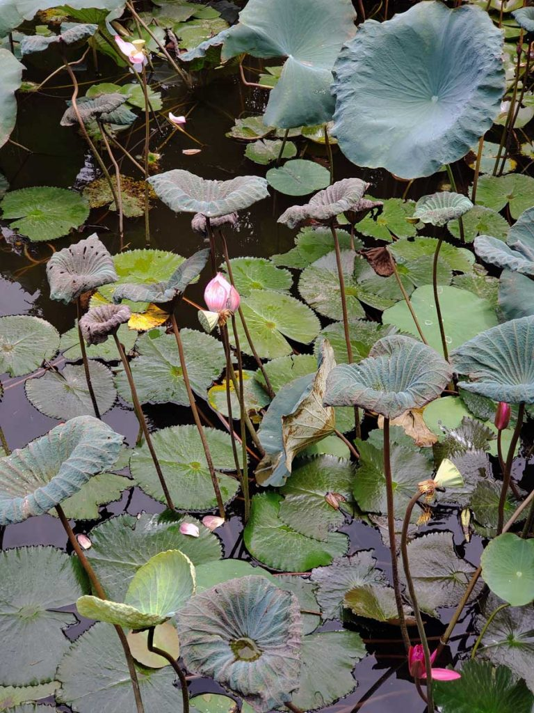 A closer look at one of the ponds with the beautiful Lotus flowers.