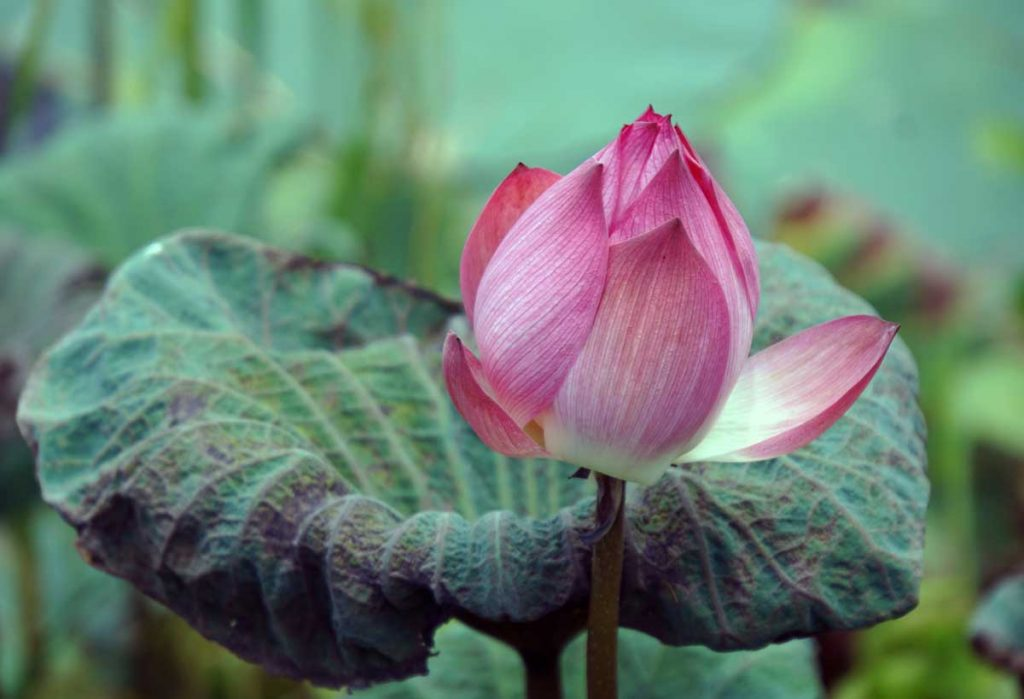 One of the beautiful Lotus flowers in the pond.