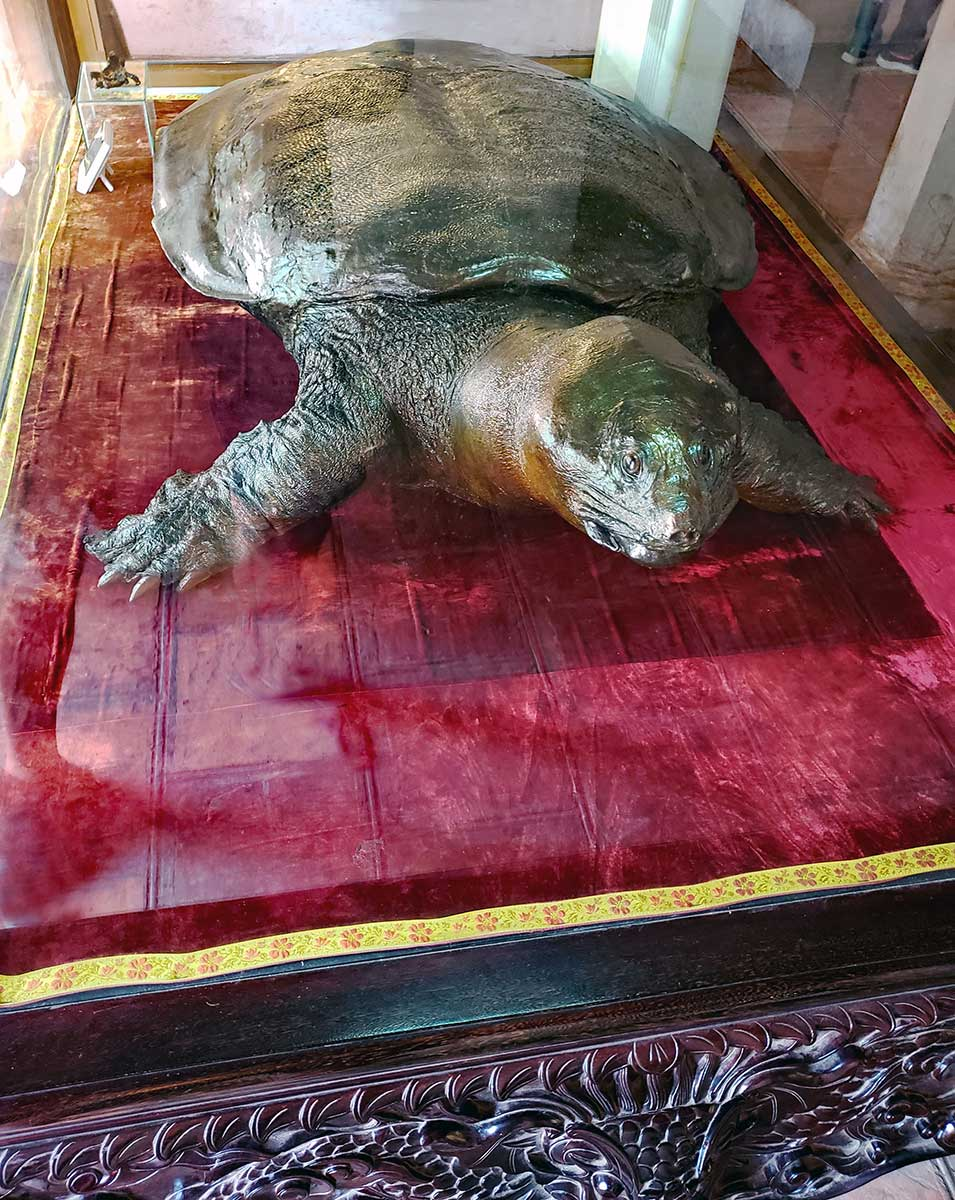 Hoan Kiem turtle is on display at the temple.