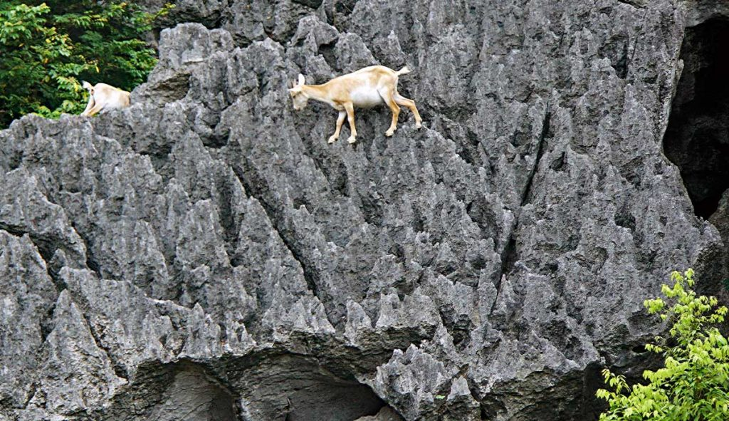 Mountain Goats by the Red River, skilled at Rock Climbing...