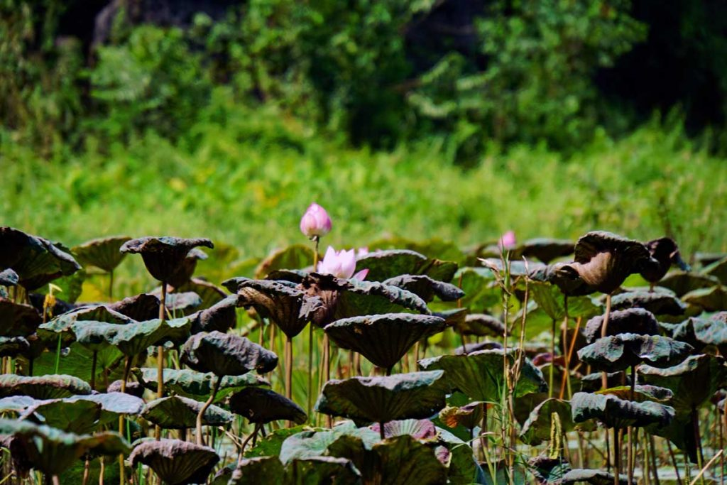 Lotus flowers are in abundant supply along the river.
