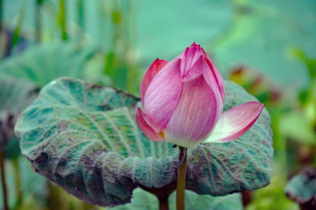 A beautiful Lotus flower.