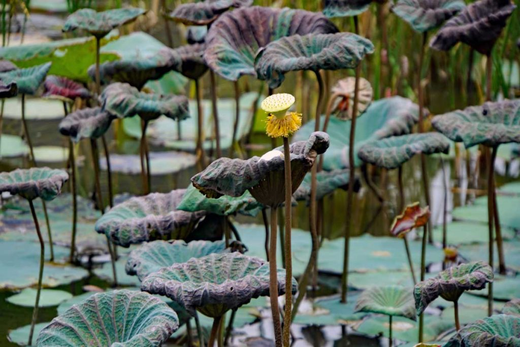 This is the seed pod of a spent Lotus flower, and this is what is assuring the proliferation of the Lotus flowers along the river.