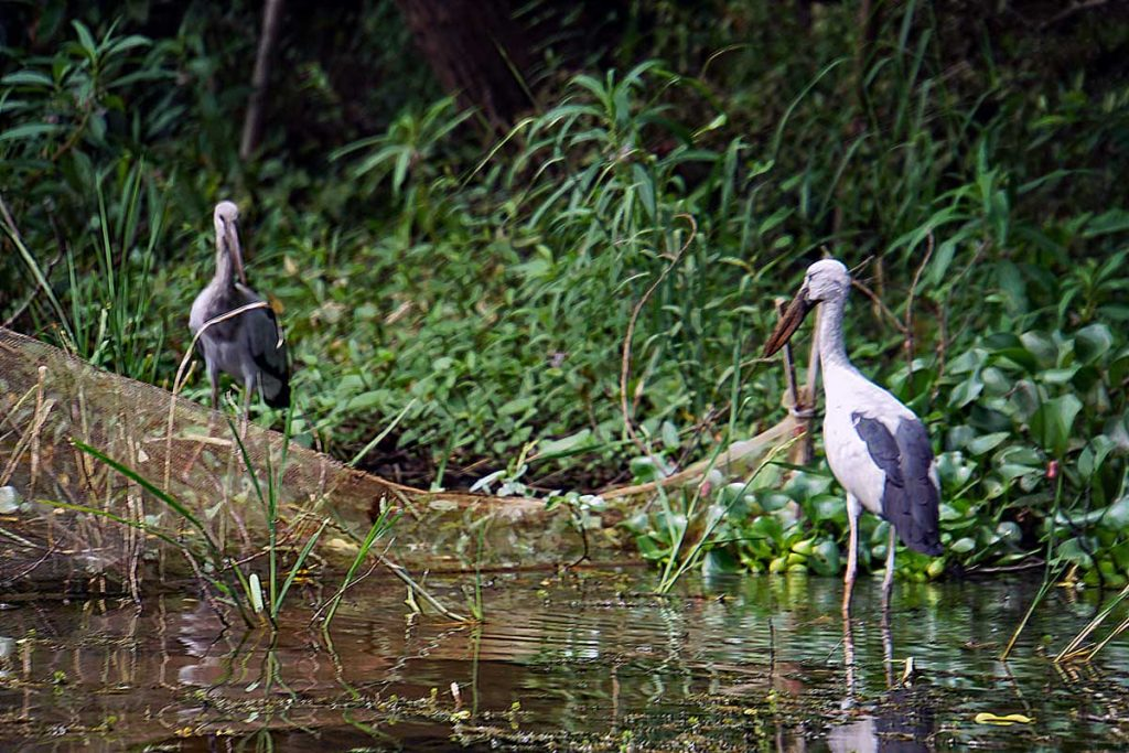 Asian Open bill Storks in the Red River Delta