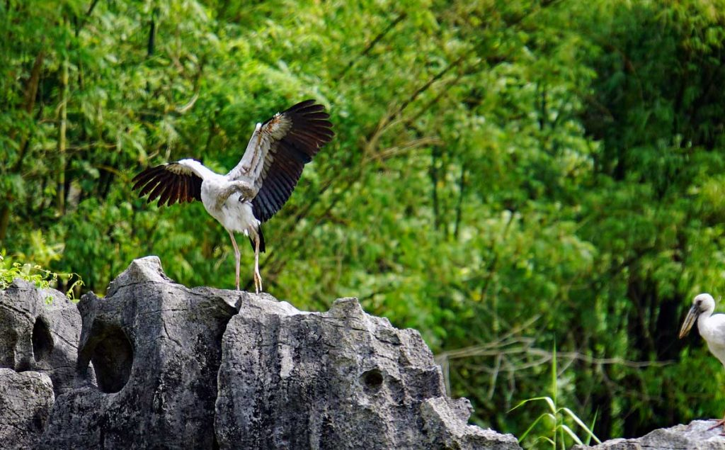 Asian Open bill Stork taking flight.