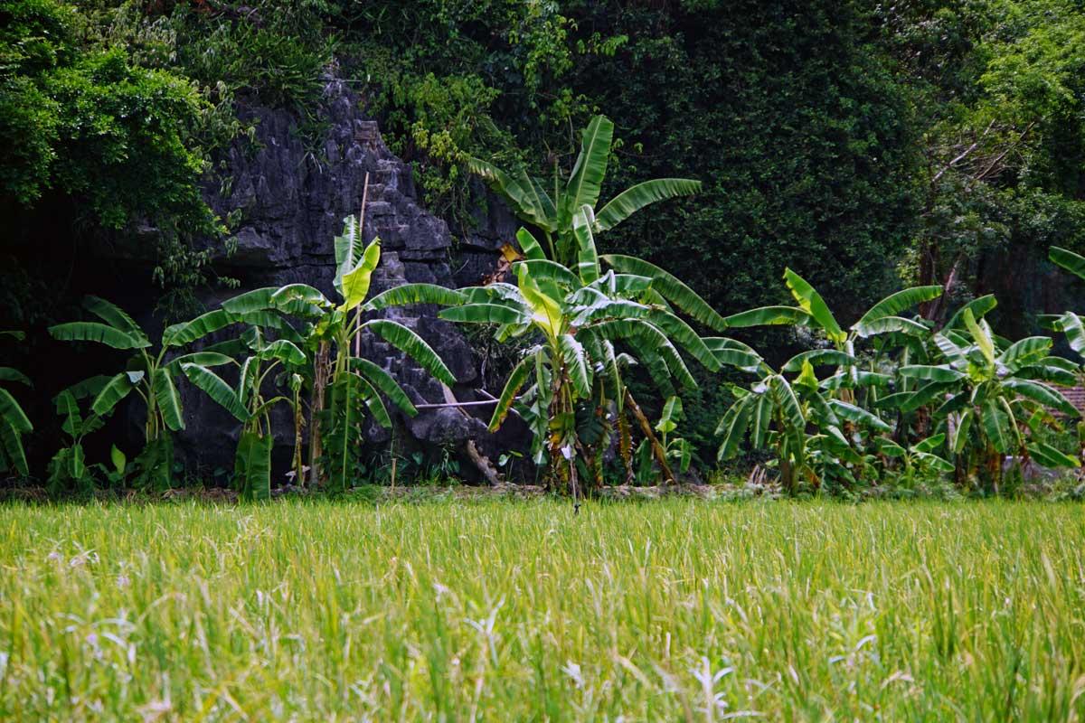 Banana plants at the homestead.
